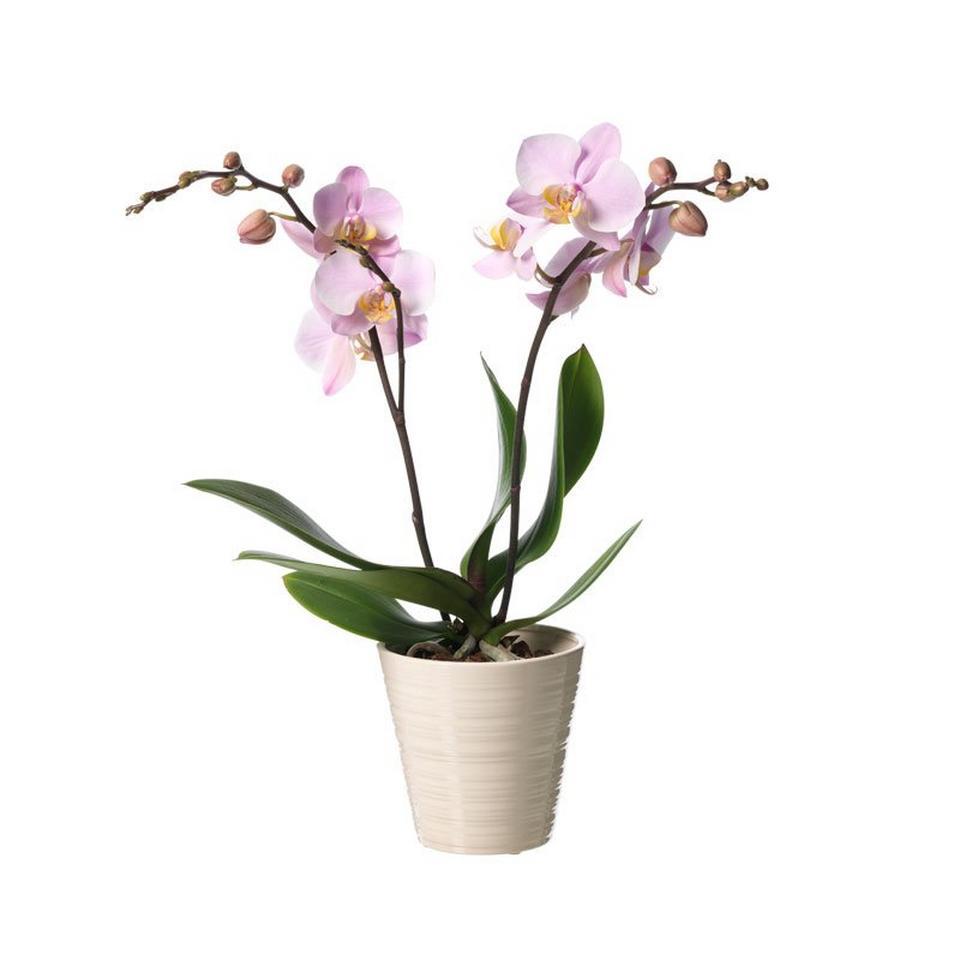 Image 1 of 1 of Single plant Phalaenopsis