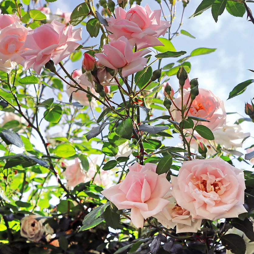 201809_about_roses_4