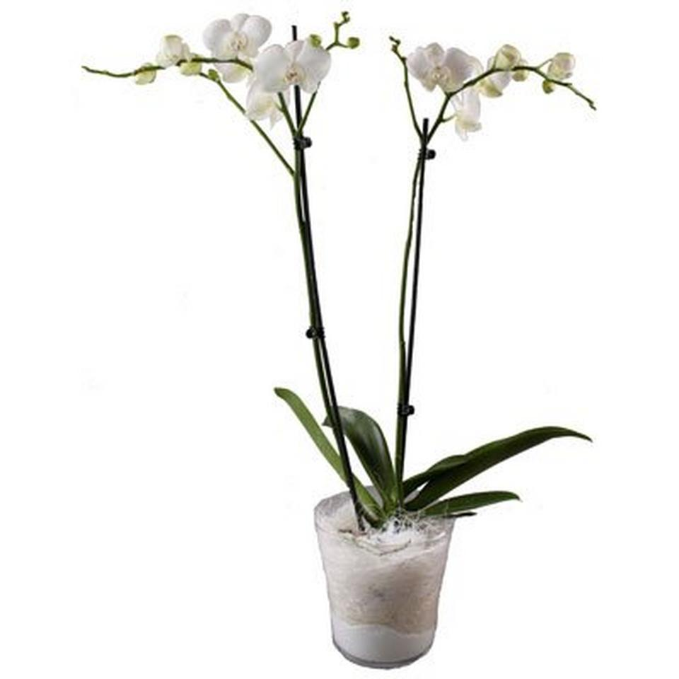 Image 1 of 1 of Orchidplant