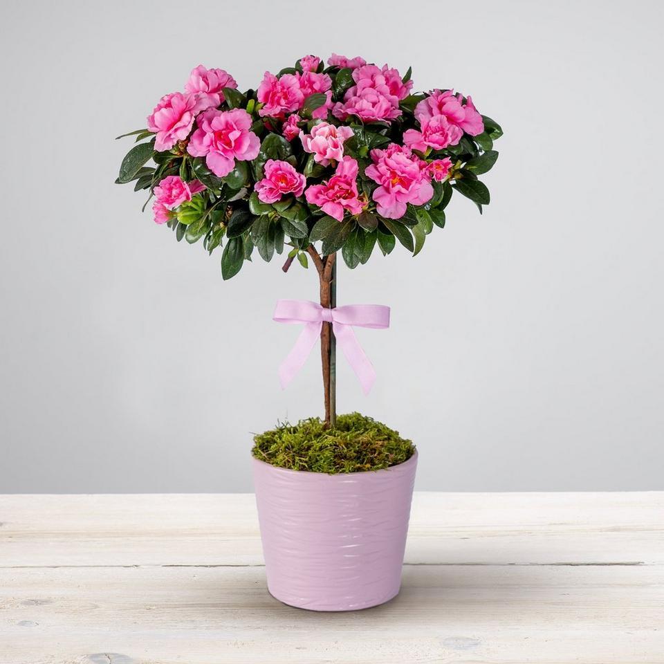 Image 1 of 2 of Pretty Pink Azalea