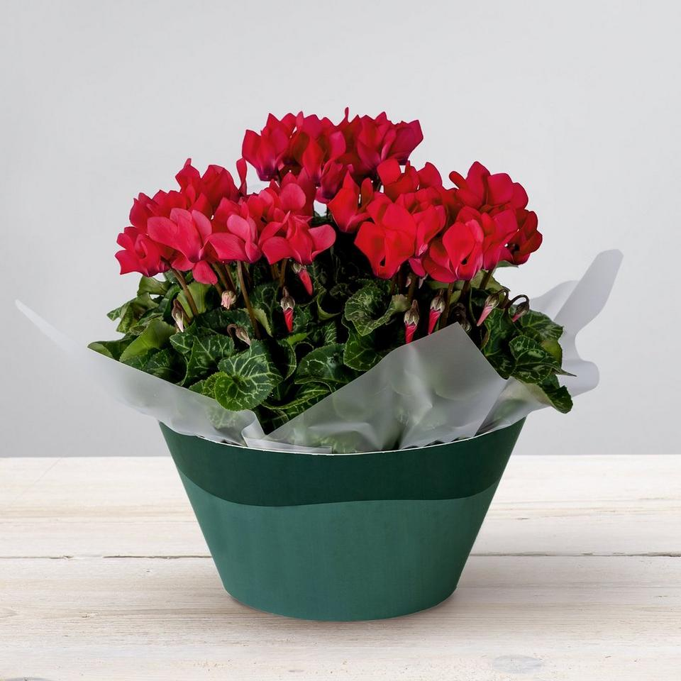 Image 1 of 2 of Cerise Cyclamen Plant