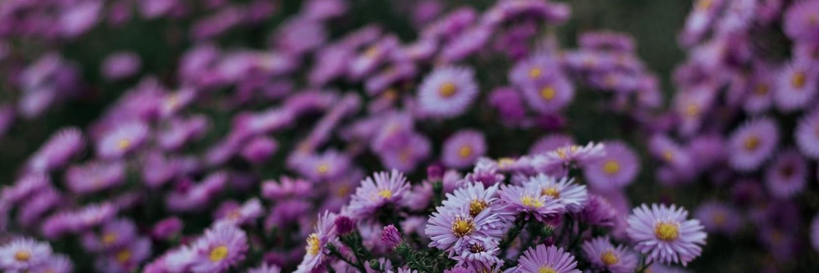 Aster-group