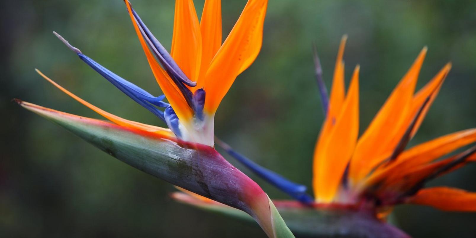 Birds-of-Paradise-1