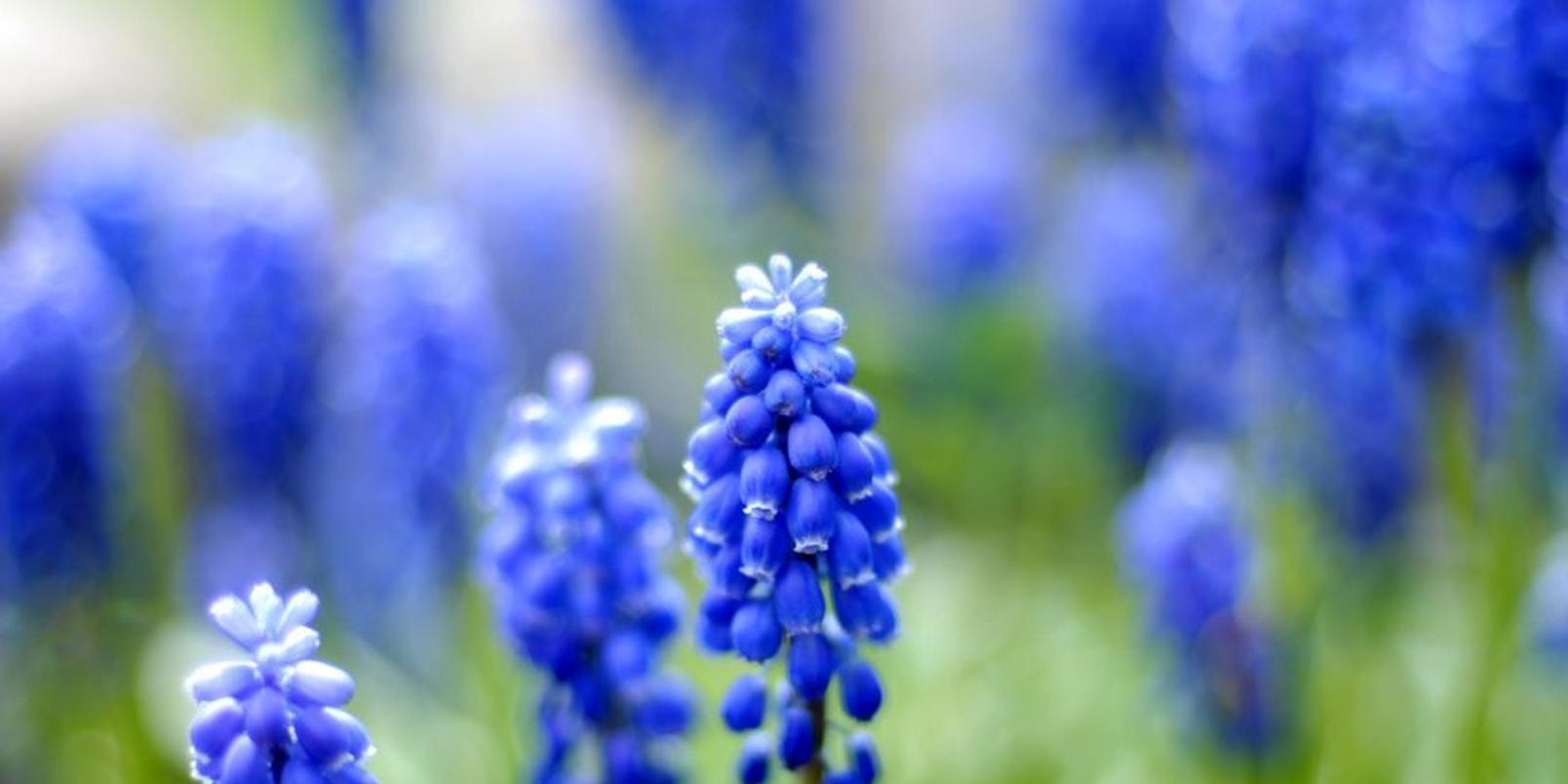 Blue-Hyacinth