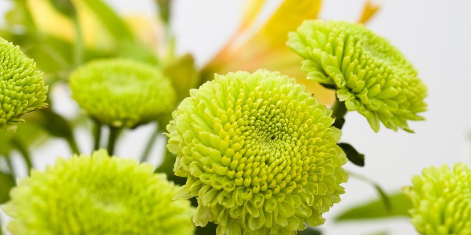 Button-Chrysanthemum