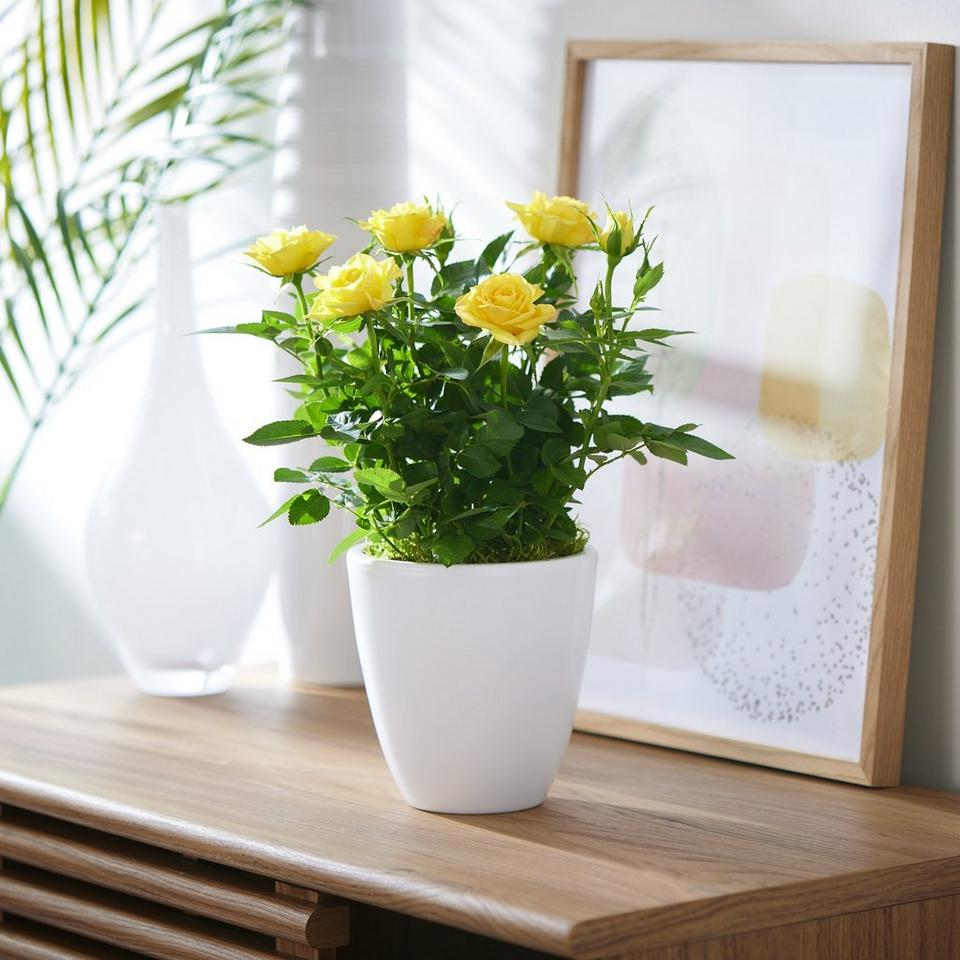 Image 1 of 2 of Sunny Rose Plant