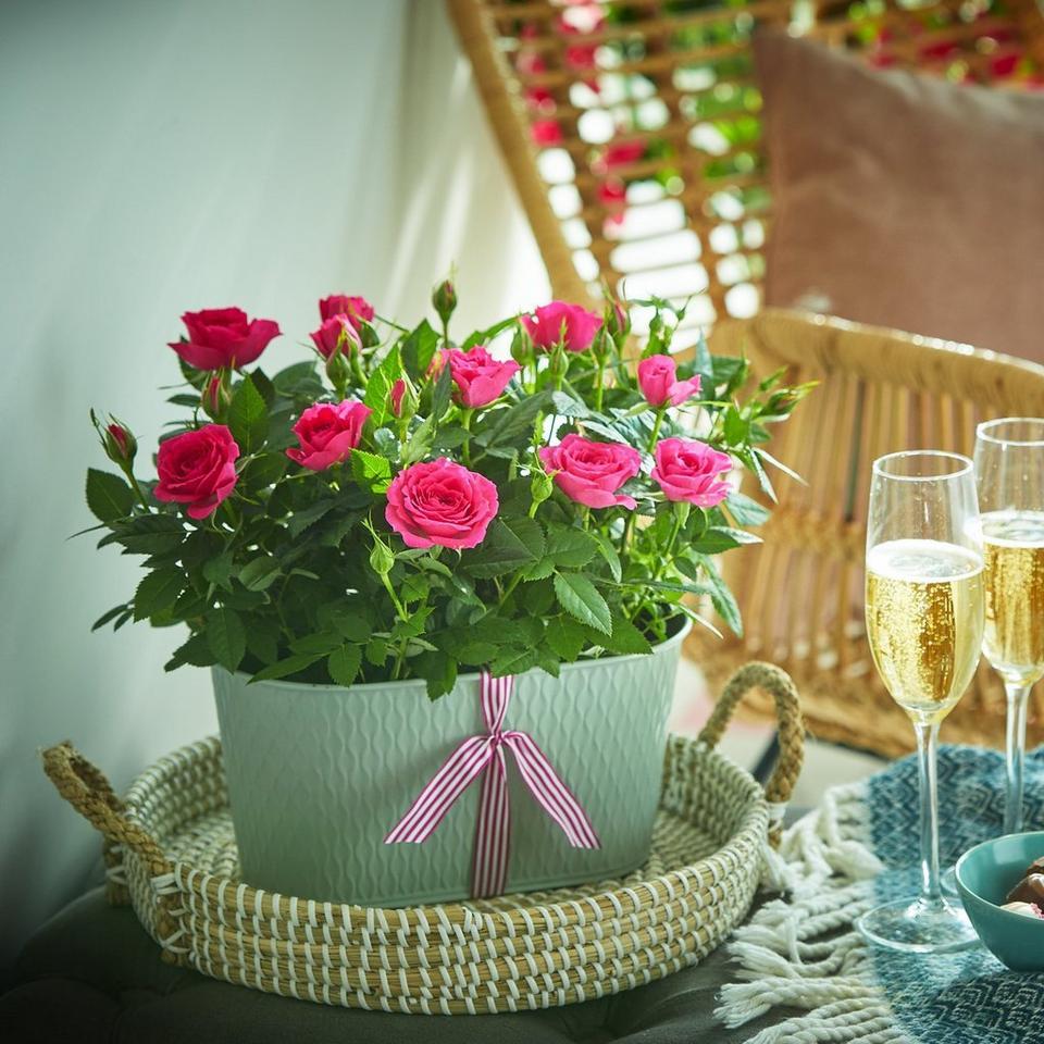 Image 1 of 2 of Pink Rose Duo