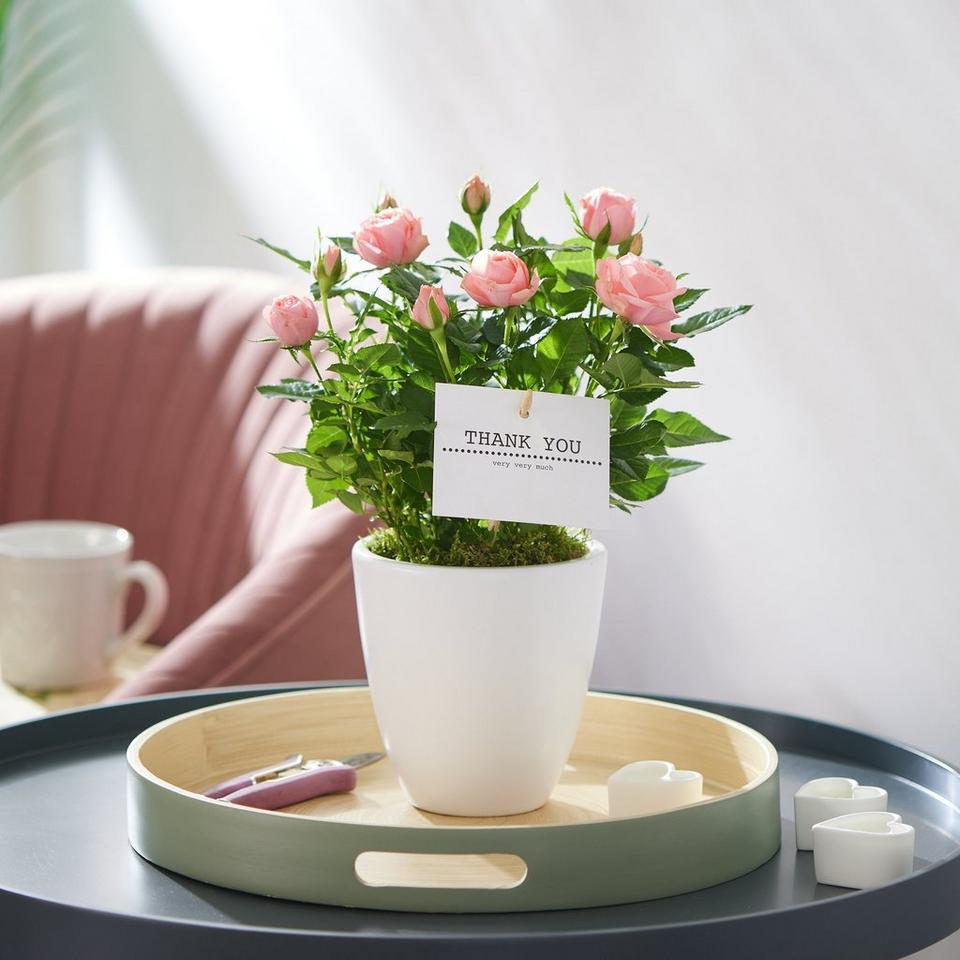 Image 1 of 2 of Thank You Rose Plant