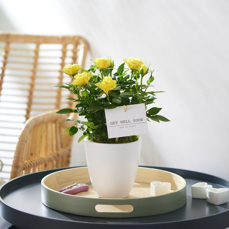 Image 1 of 2 of Get Well Rose Plant