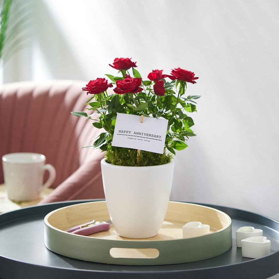 Image 1 of 2 of Happy Anniversary Rose Plant