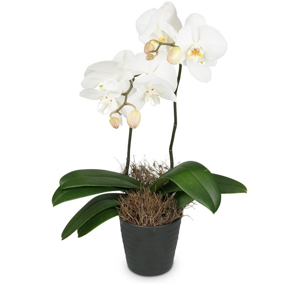 Image 1 of 1 of White Dream (orchid)