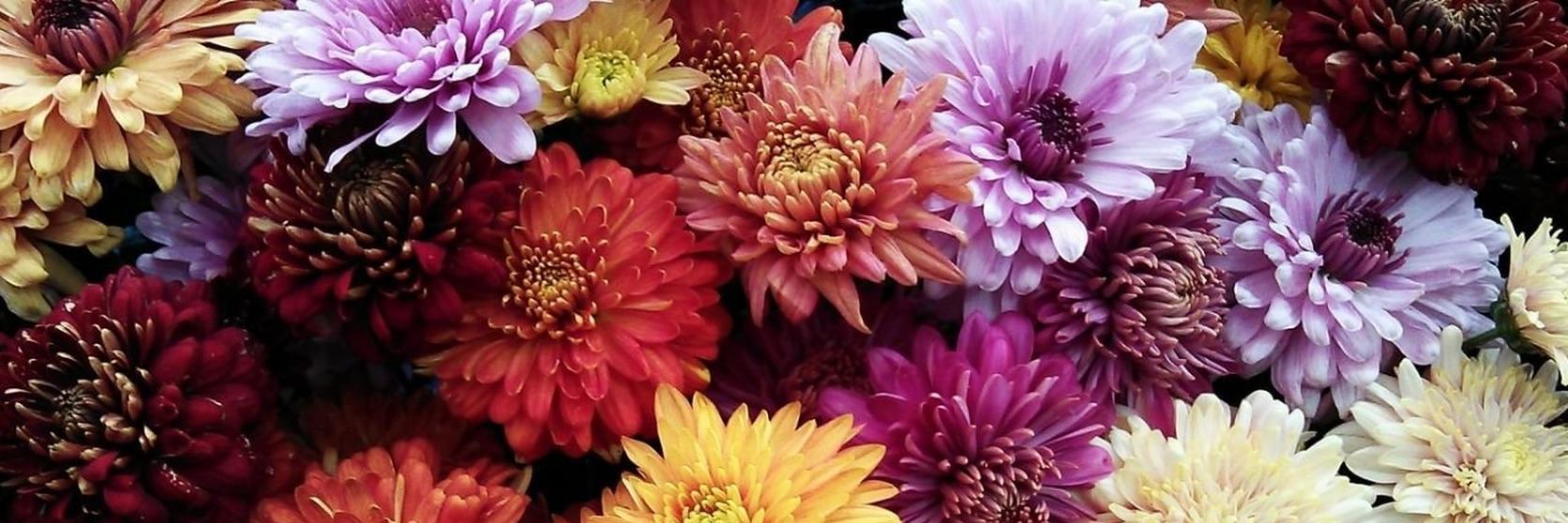 Chrysanthemum-group