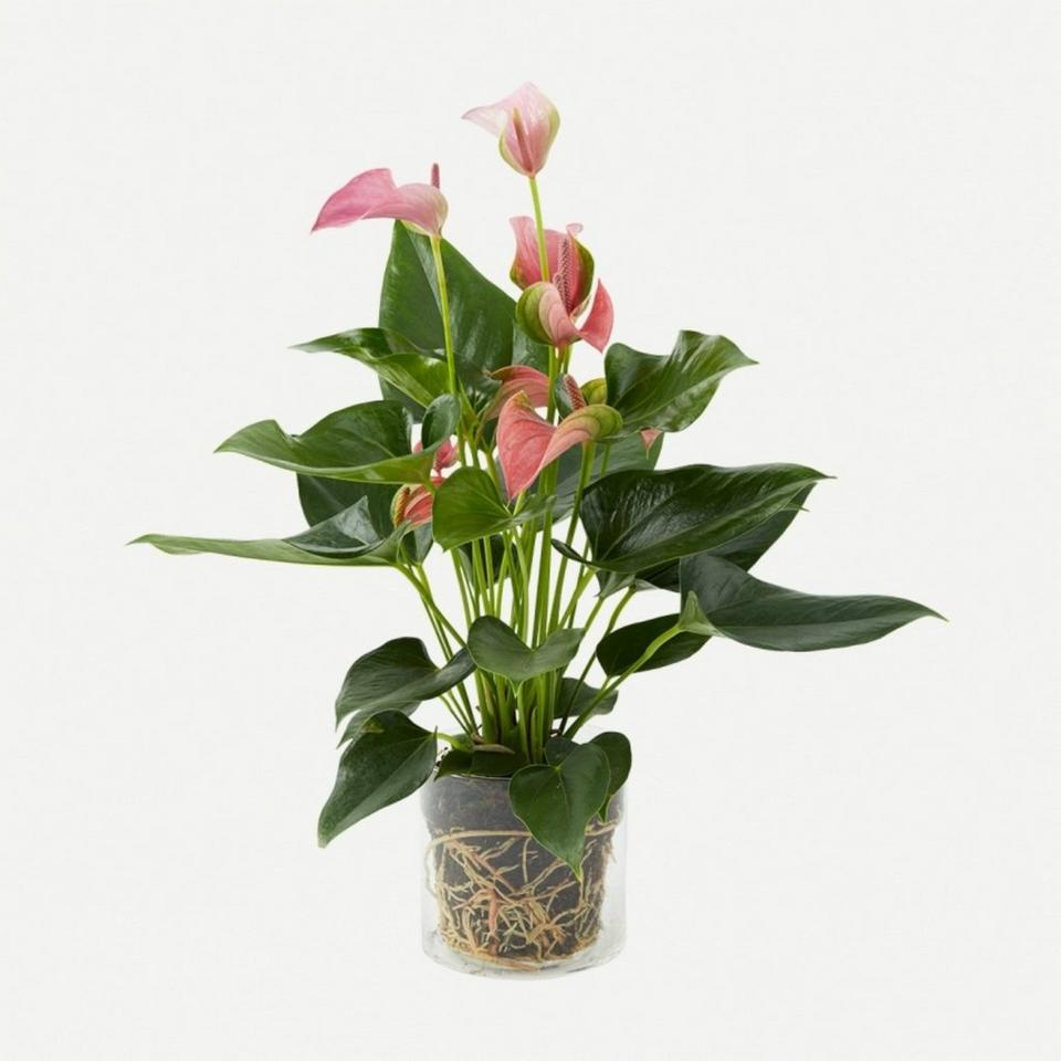 Image 1 of 1 of Plant - Pink Anthurium