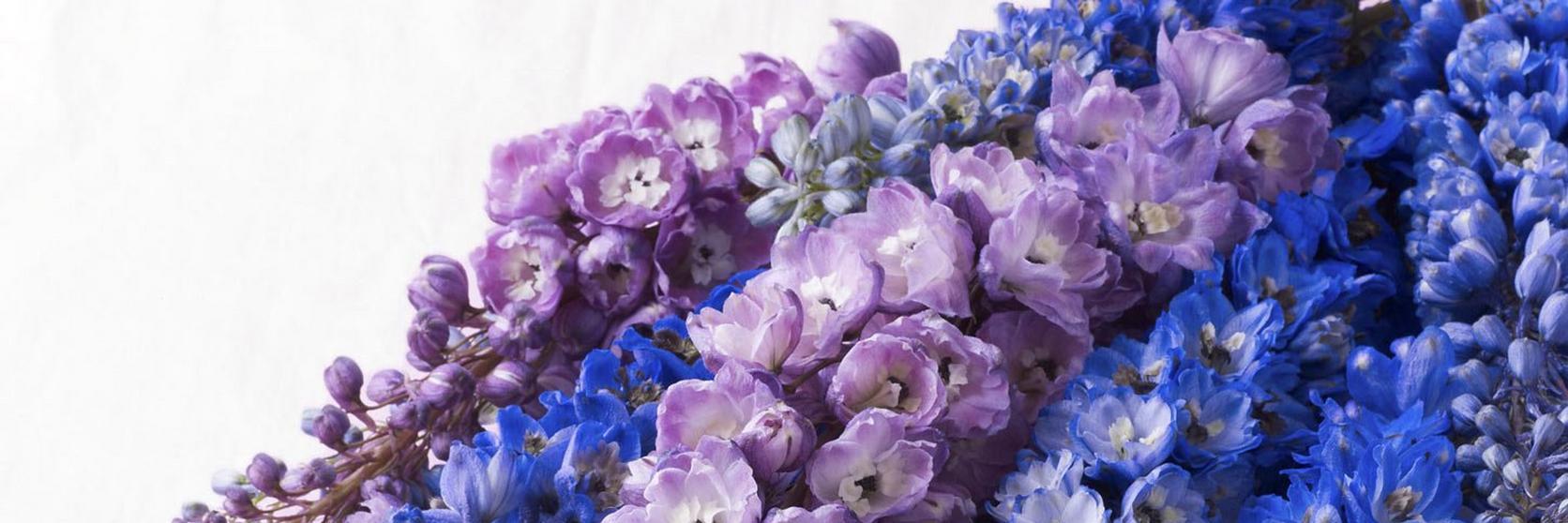 Delphinium-header-ultimate-flower-guide