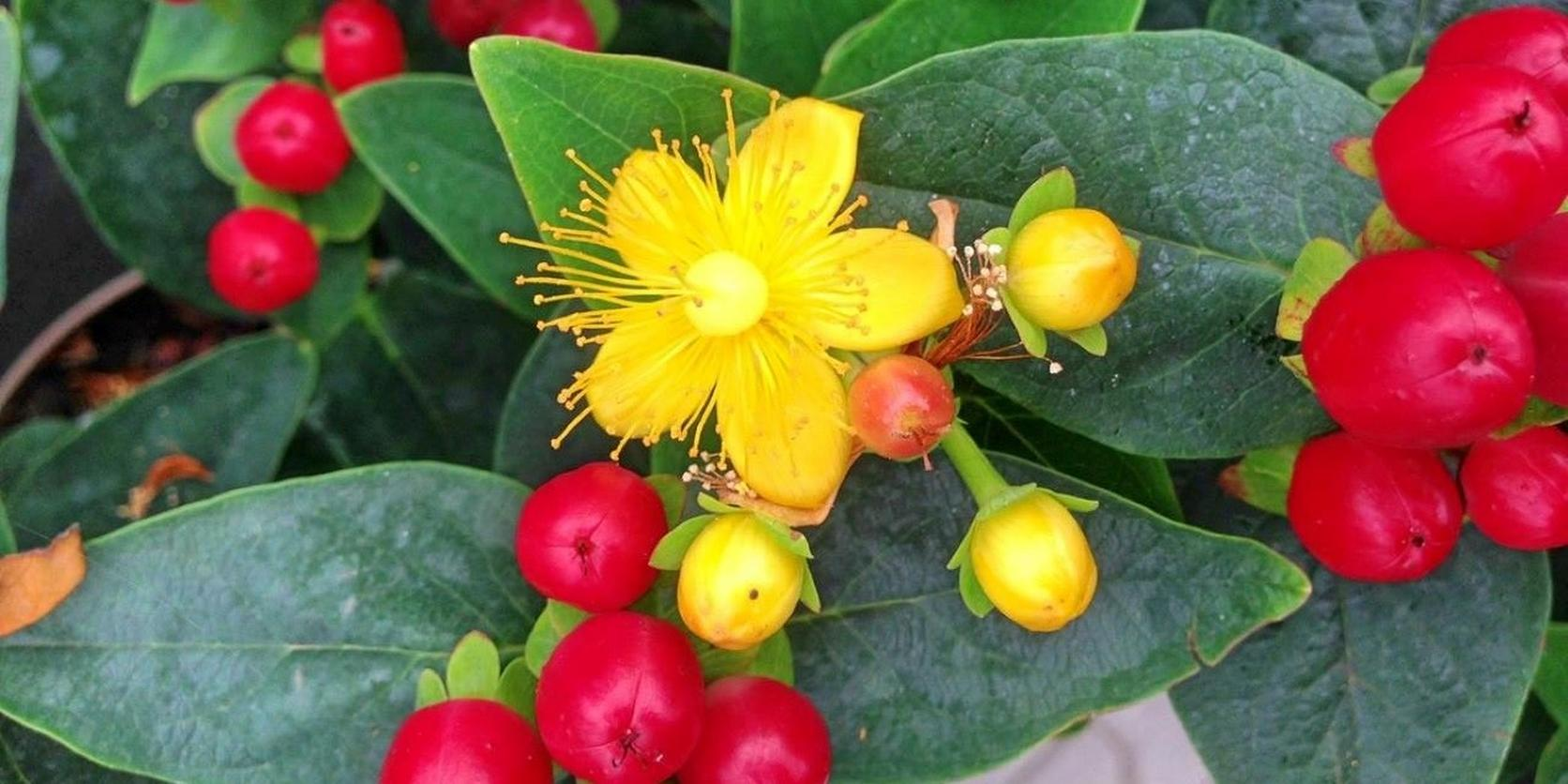 Hypercium-berries-2