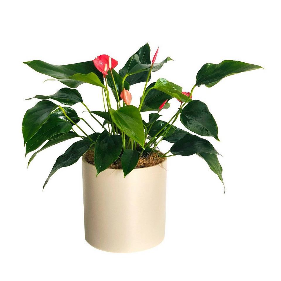 Image 1 of 1 of Flamingo Flower