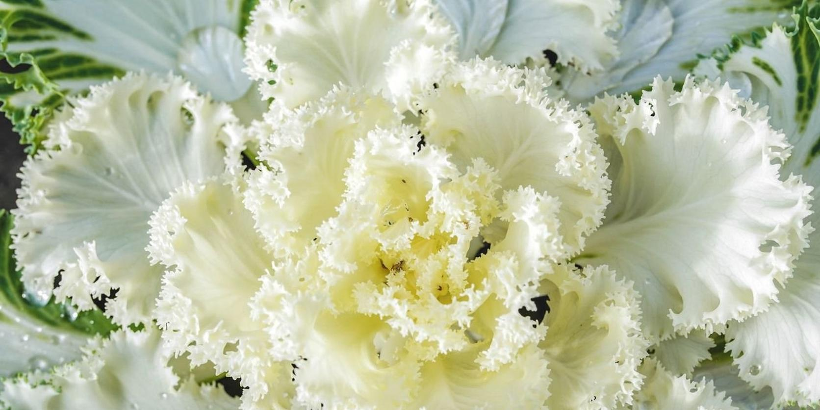 Ornamental Cabbage