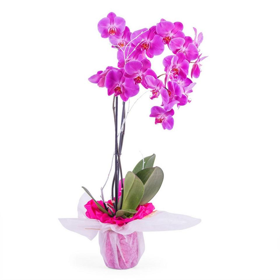 Image 1 of 1 of Orchid Plant