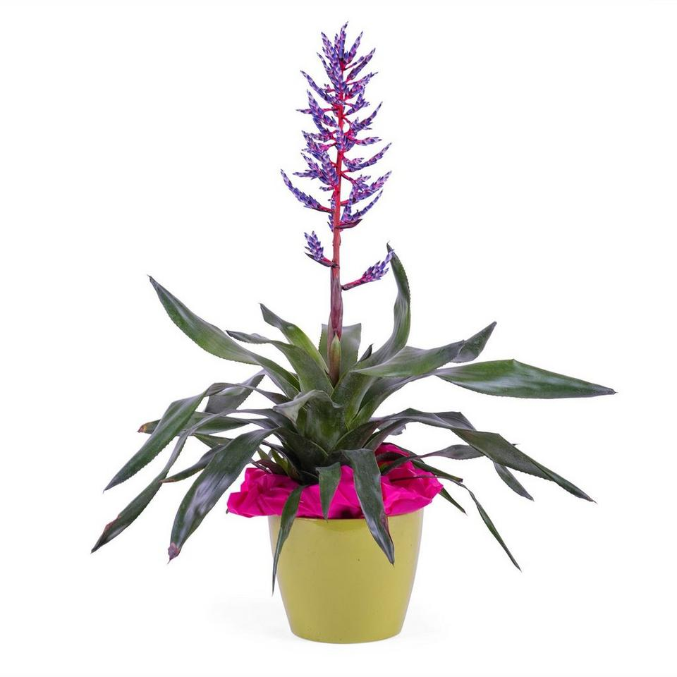 Image 1 of 1 of Bromelia Plant