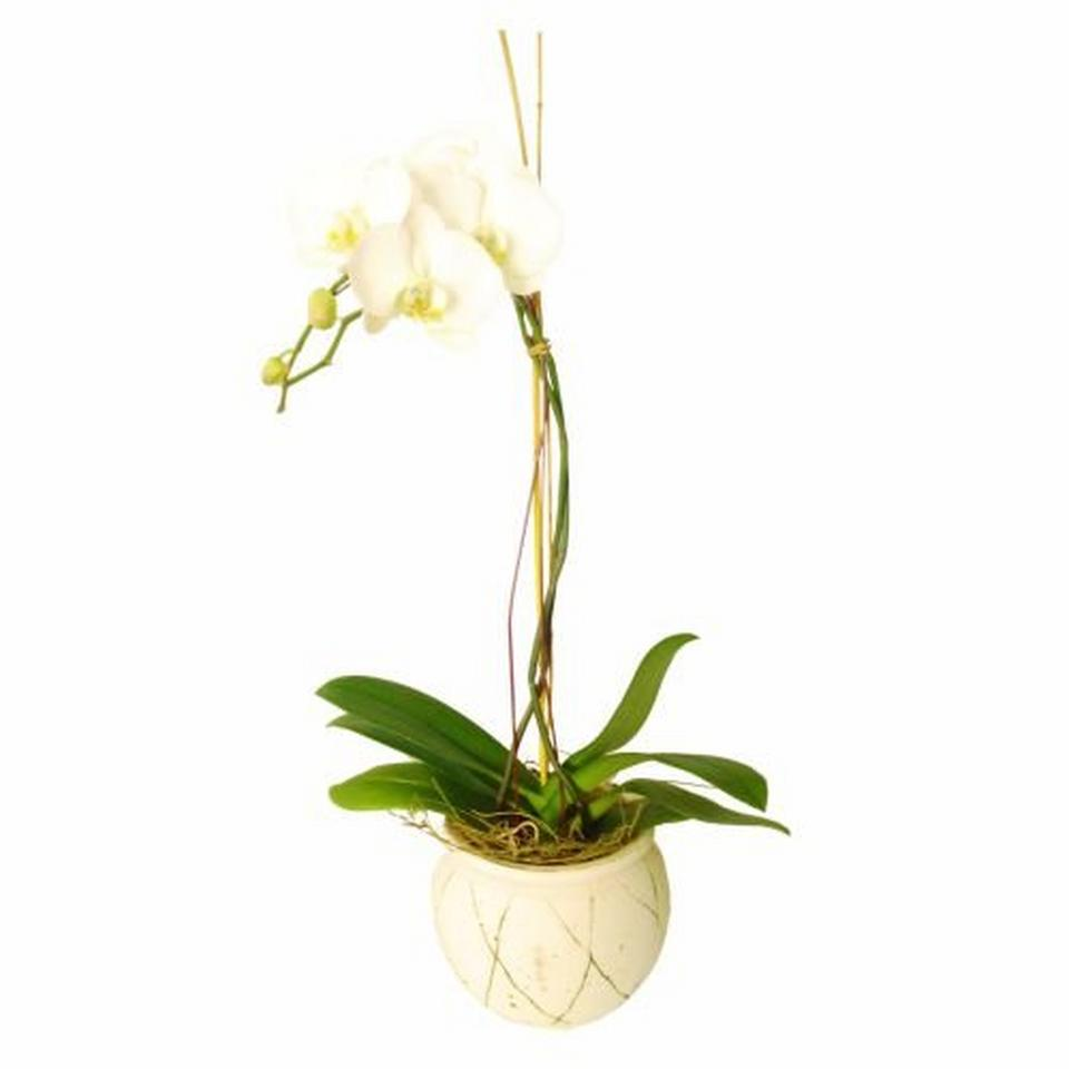 Image 1 of 1 of Orchid In Ceremic Vase (Subject to availability)