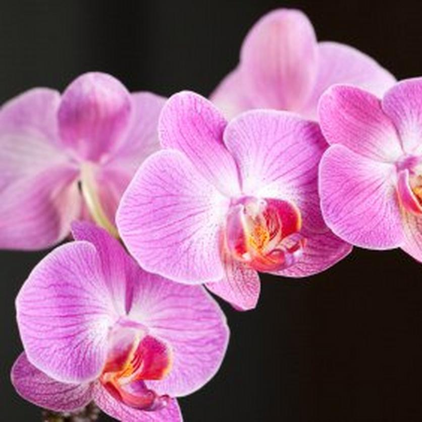 Phalenopsis-orchid