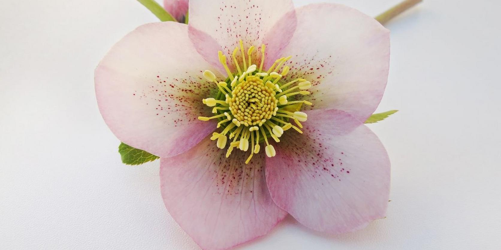 Pink-Hellebore-Flower