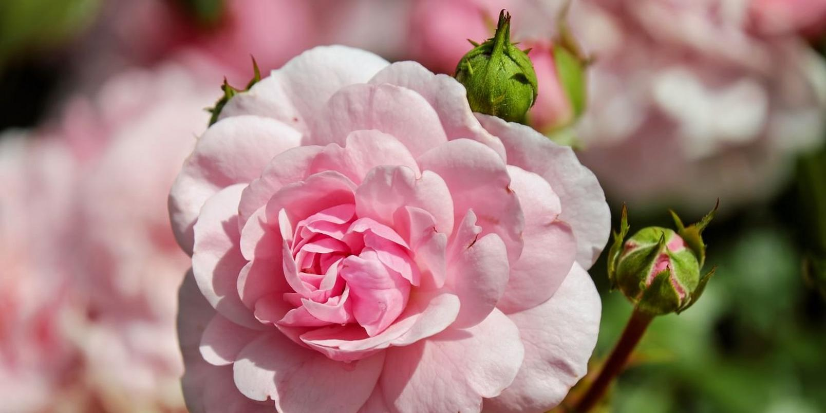 Pink-flowers-3
