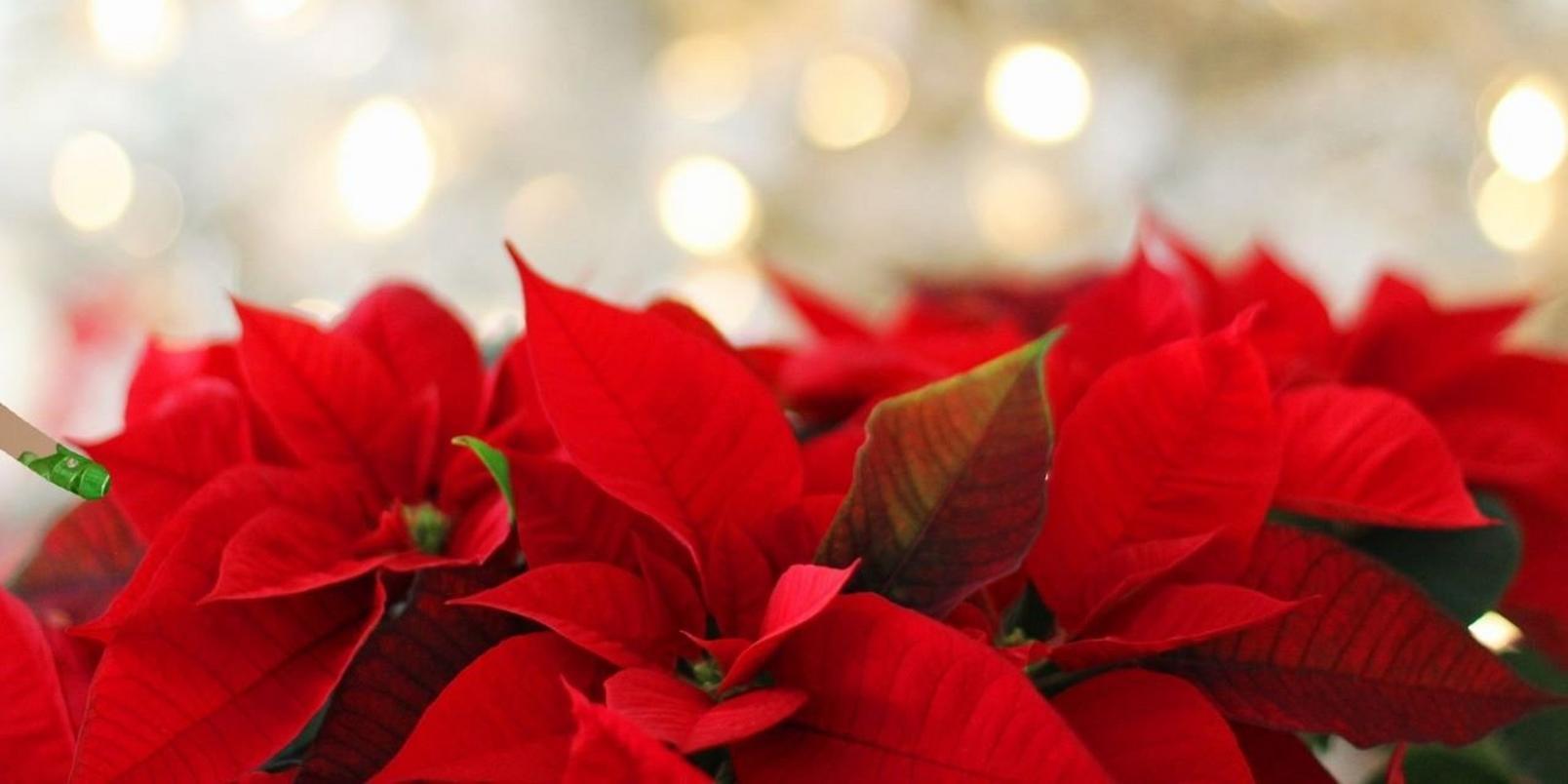 Poinsettia & lights