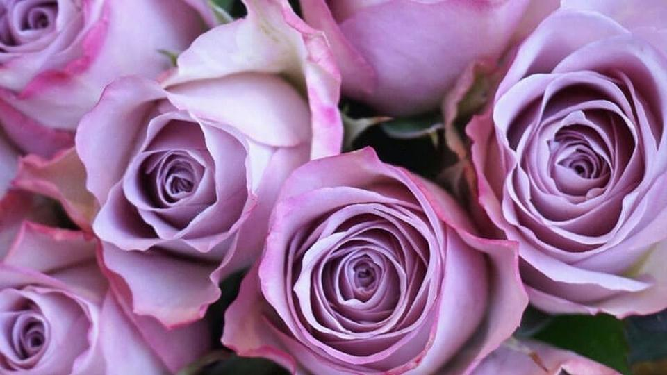 Purple-roses-roses-page