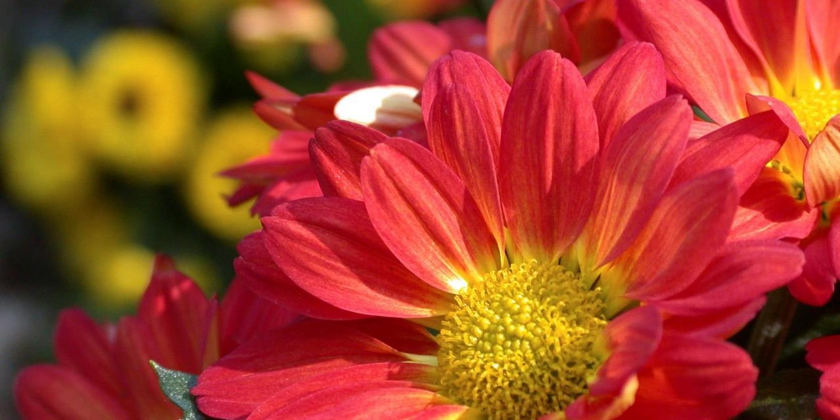 Red-Chrysanthemum