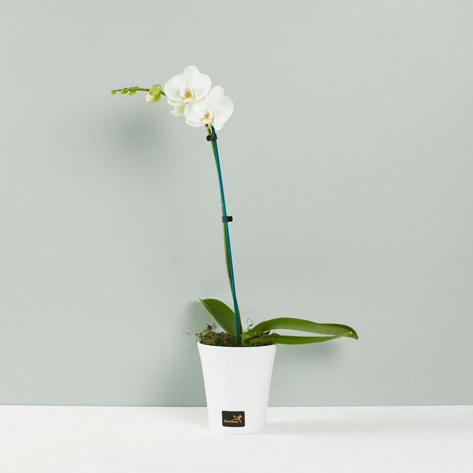 Image 1 of 1 of Phalaenopsis Plant