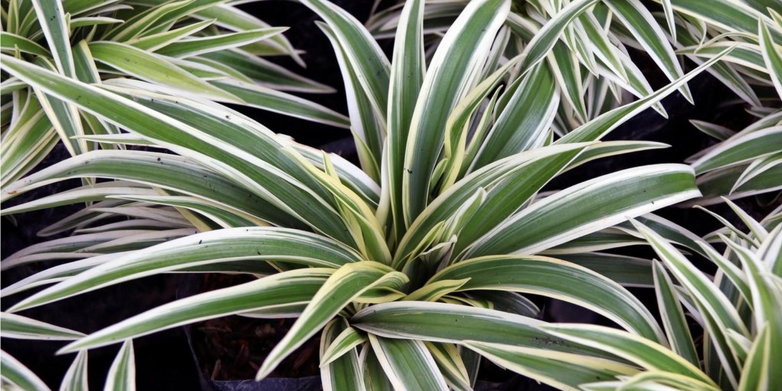 Spider-plants-health-benefits