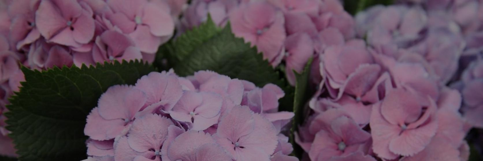 Top-hay-fever-friendly-flowers-1