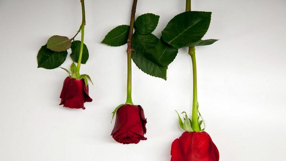 Valentines rose size difference