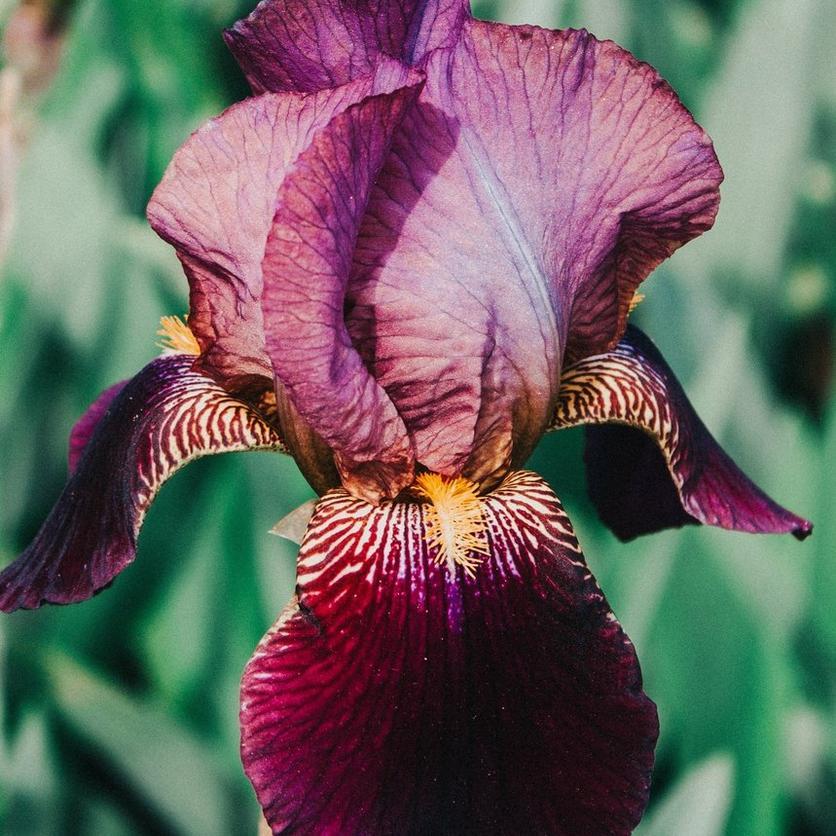 bearded-irises