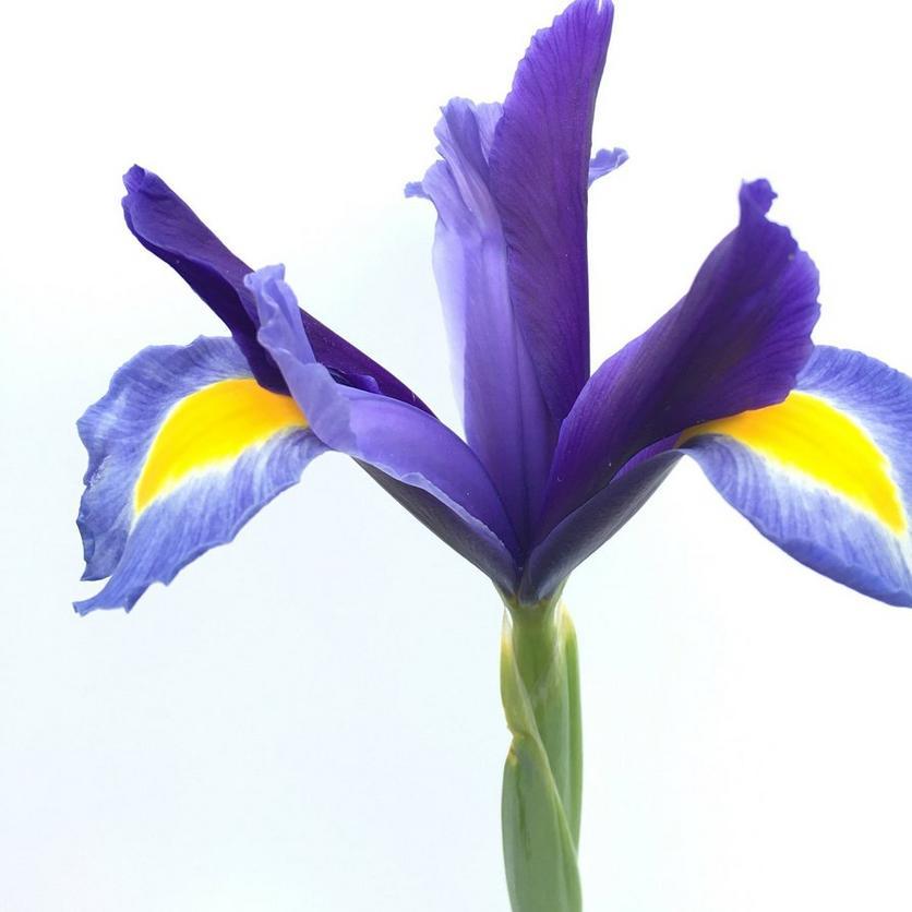 beardless-irises