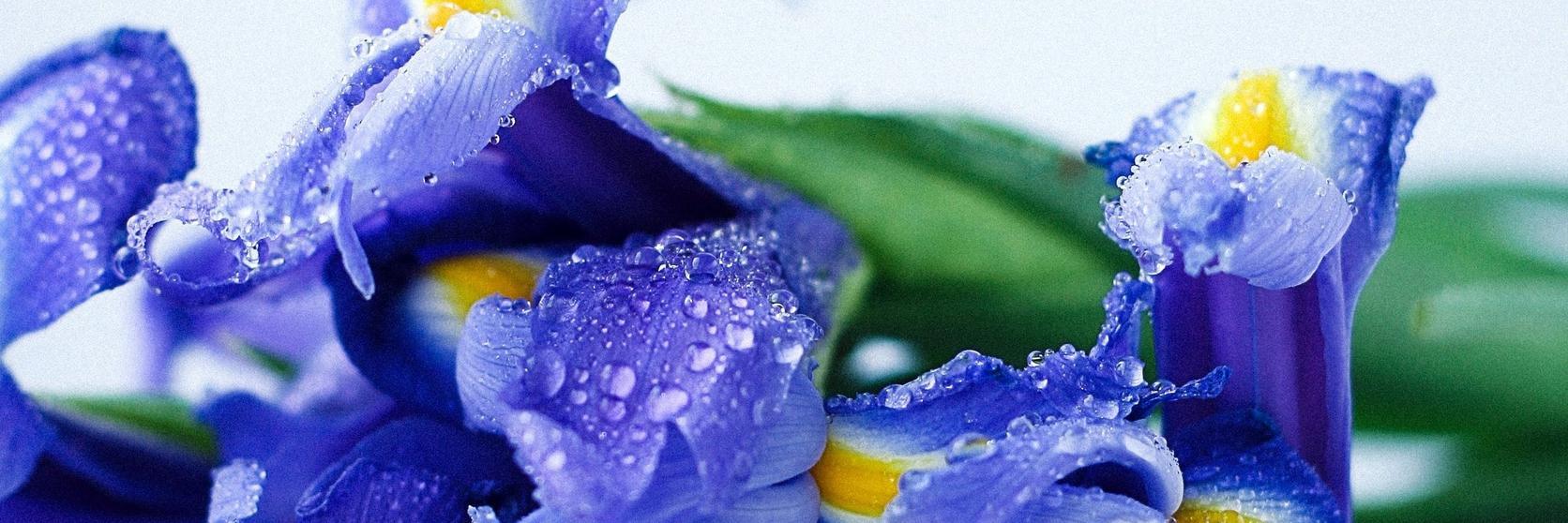 blue-irises