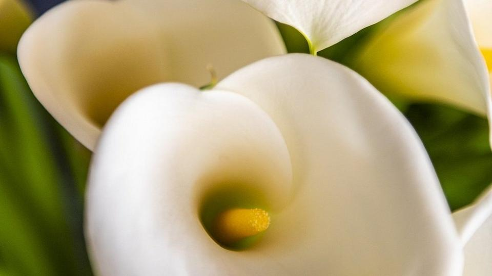calla-lilies-cropped