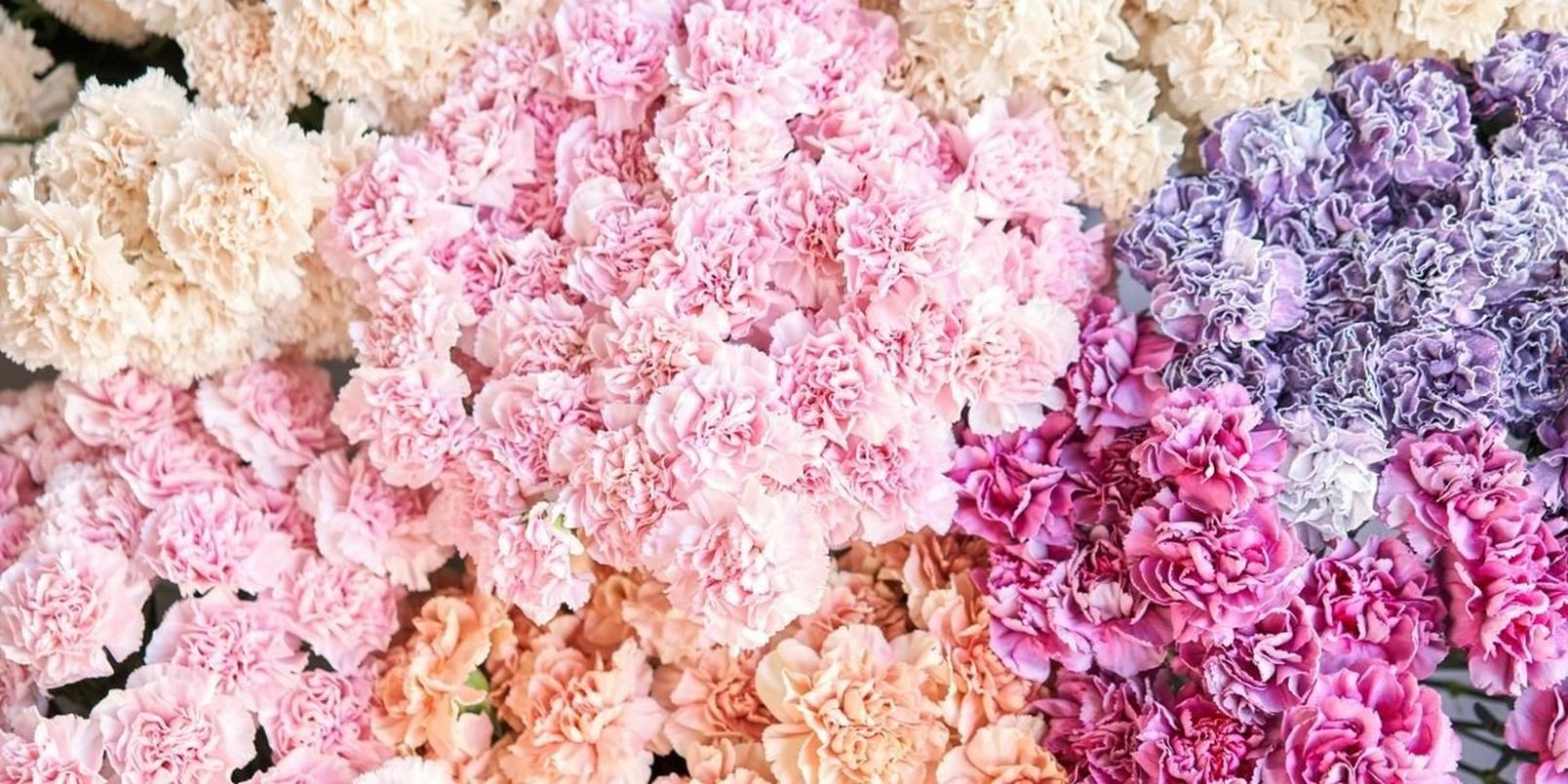 carnations-1