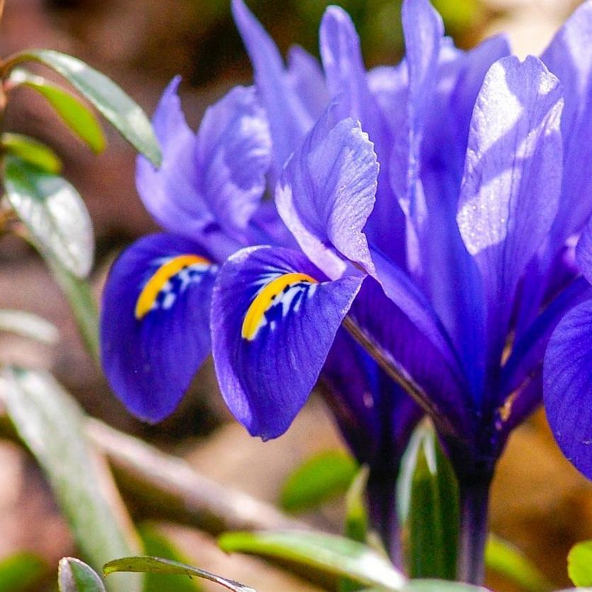 crested-irises-blue