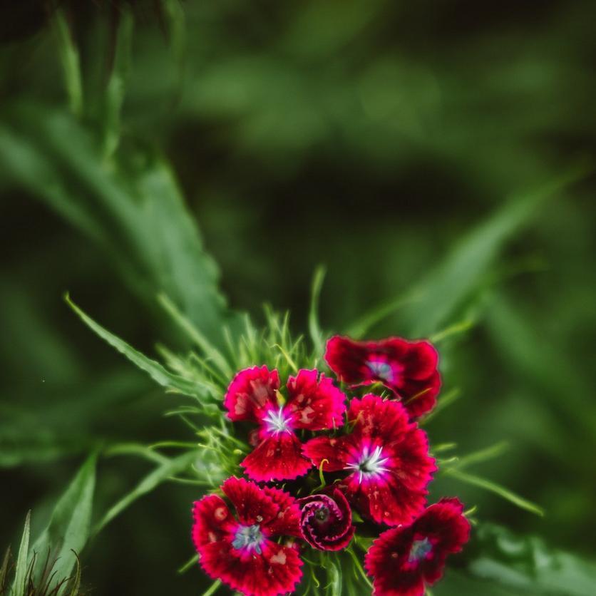 dark red sweet william