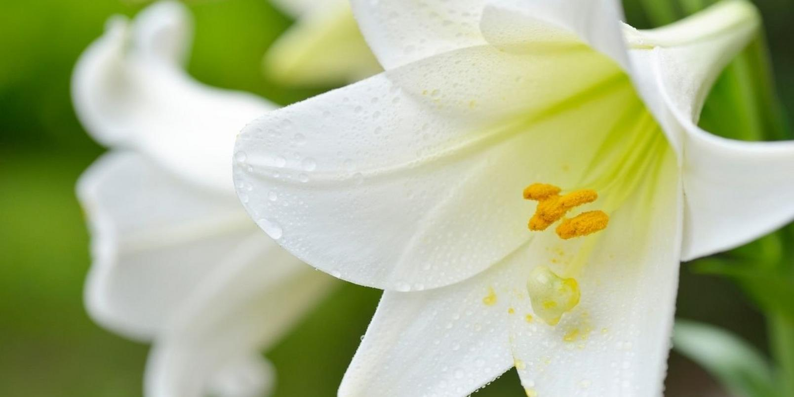 easter_lilies