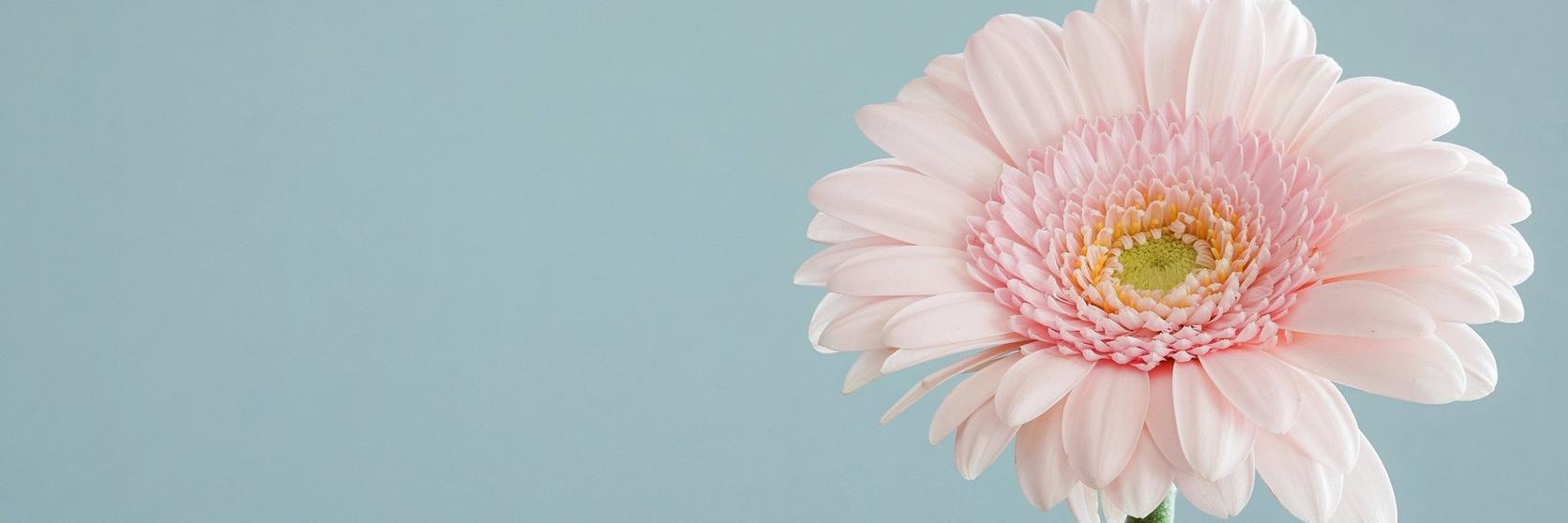 gerbera-daisy-pink