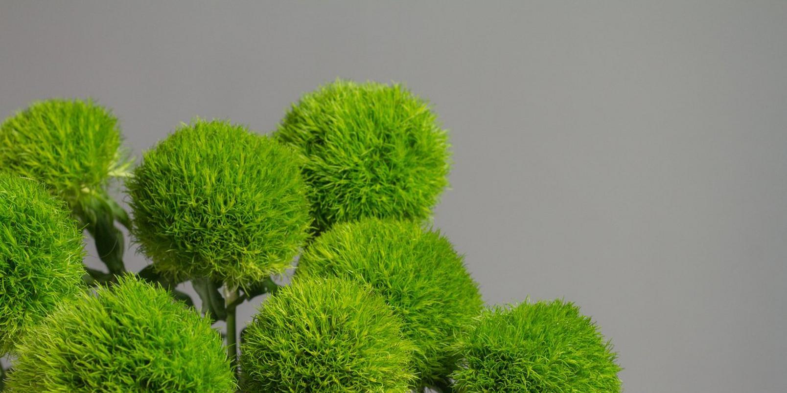 iStock-1253930156-green-dianthus
