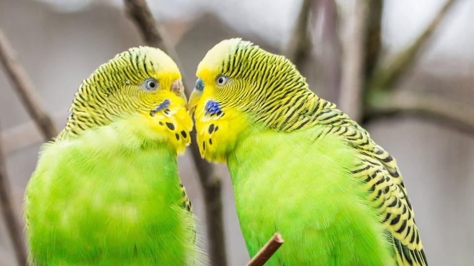 love-birds-2_8