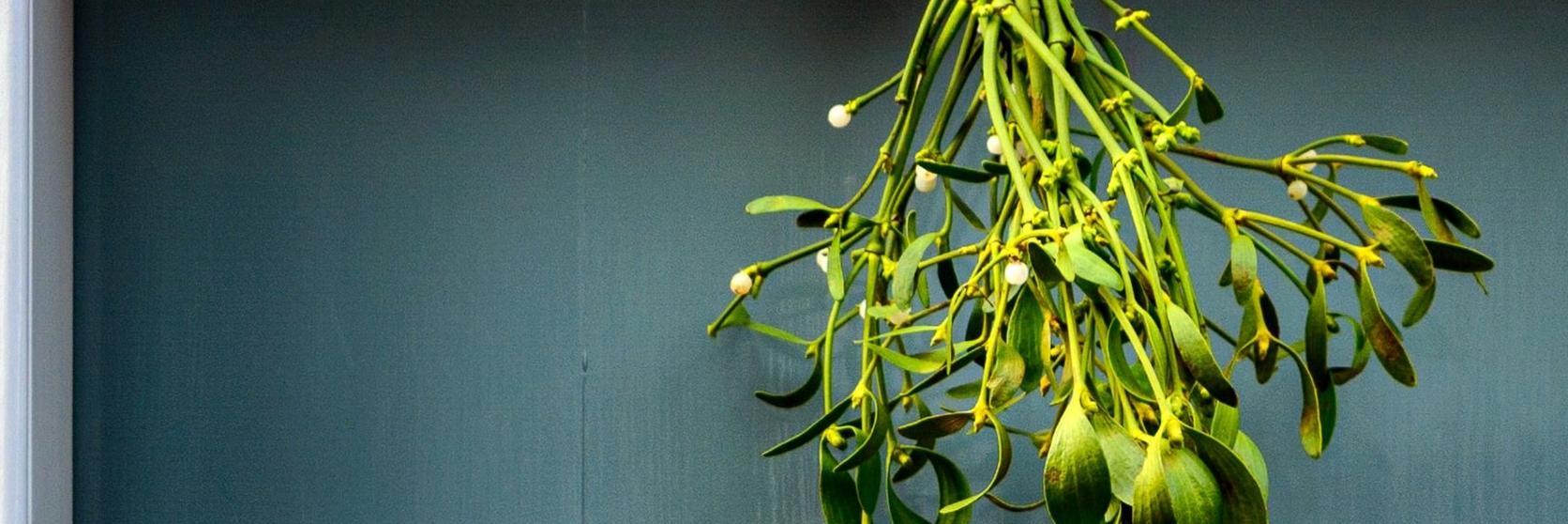 mistletoe-hanging-cropped