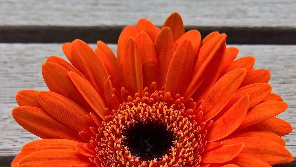 orange-gerbera