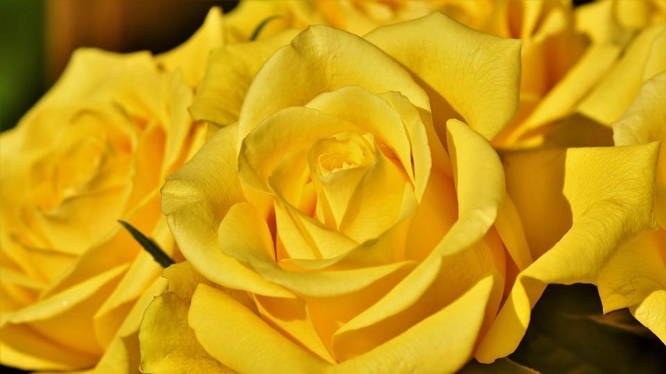rose-3716994_1920