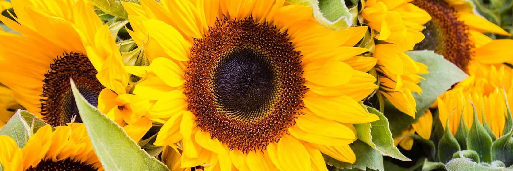 sunflower-facts-ultimate-flower-guide