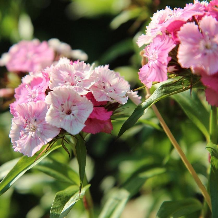 sweet-william-giant-imperial